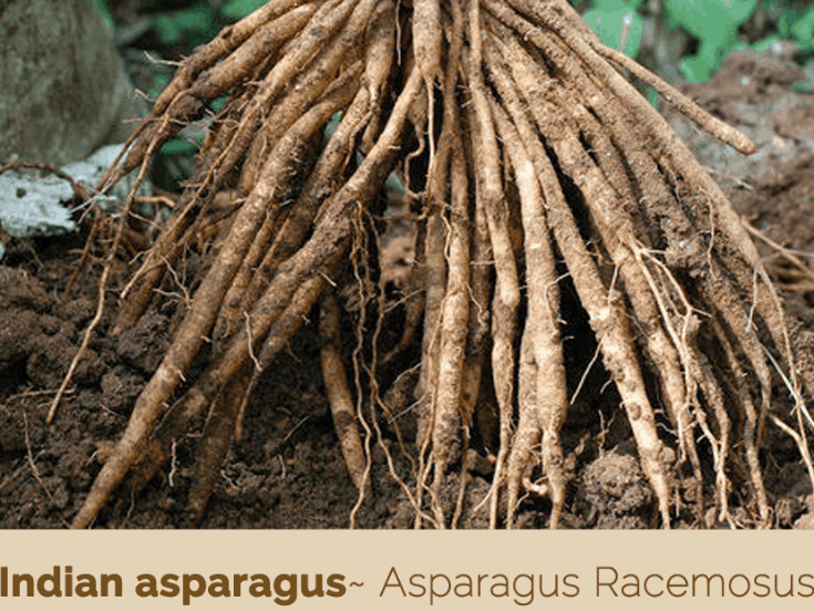Indian asparagus